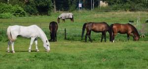 Manegepaarden in de wei augustus 2016 (2)