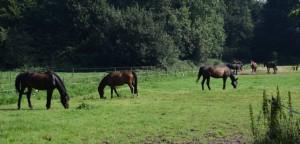 Manegepaarden in de wei augustus 2016 (3)